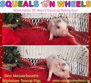 Best Massachusetts Miniature Teacup Pigs